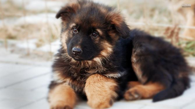 pastore tedesco cucciolo pelo corto